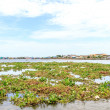 Many birds feed on water hyacinth estuary. — Stock Photo #33167133
