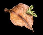 Sphinx du laurier-rose — Photo