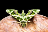 Green moth is on dry leaf — Stock Photo