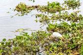 Bird in Water hyacinth — Stok fotoğraf