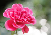 Rose and background of boke — Stock Photo