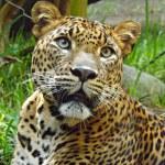 Stunning leopard head — Stock Photo