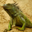 Green or Common Iguana in the wild — Stock Photo