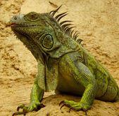 Iguana verde ou comum na natureza — Foto Stock