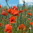Poppies blooming on the field — Stock Photo