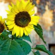 Stock Photo: Sunflower with yellow petals