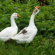 Stock Photo: Two white goose on natural background