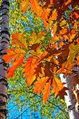 Oddziały z jasny dąb jesień liście — Zdjęcie stockowe