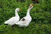 Dos ganso blanco sobre fondo natural — Foto de Stock