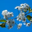 Cherry blossoms against the blue sky — Stock Photo