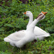 Two white goose on natural background — Stock Photo