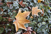 Yellow maple leaf with frost — Stock Photo