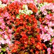 Colorful flowers begonias — Stock Photo