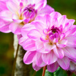 Pink chrysanthemum flowers — Stock Photo #34364499