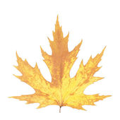 Beautiful autumn maple leaf — Stock Photo