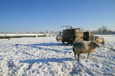 Dutch winter landscape with sheep — Stock Photo