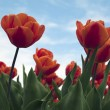 Beautiful orange tulips — Foto Stock