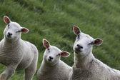 羊羔和母亲 — 图库照片