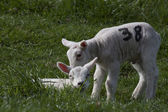 Lamb nummer 38 — Stock Photo