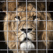Lion in the zoo — Stock Photo
