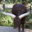 Ankole Watusi — Stock Photo #31319797