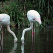 Stok fotoğraf: Pink flamingo, s in water