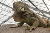 Close up photo of a iguana — Stock Photo