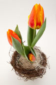 Easter tulips in orange — Stock Photo