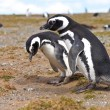 Stock Photo: Two penguins looking for nest on IslMagdalennear PuntArenas