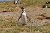 Solo penguin on Isla Magdalena near Punta Arenas — Stock Photo