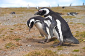 Two penguins looking for a nest on Isla Magdalena near Punta Arenas — Stock Photo