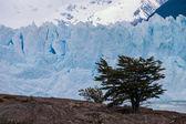Perito moreno gletscher in argentinië met boom op de voorgrond — Stockfoto
