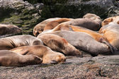 Sea lion group relaxing — Stock Photo