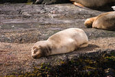 Baby sea lion sleeping on a rock — Stock Photo