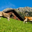 Cows eating in front of a barn alpine scene — Stock Photo