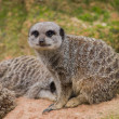 Suricate watching into cam — Stock Photo #24177925