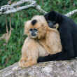 2 monkeys hugging — Stock Photo
