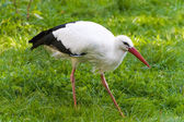 Walking stork on green field — Stock Photo