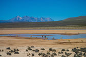 Vicuna in the Andes drinking at a standpipe — Stock Photo