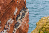 Lummen on Helgoland in early spring on a rock — Stock Photo