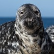 Stock Photo: Seal on dune of Helgoland looking at you