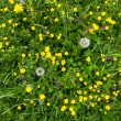 Stock Photo: Yellow buttercup meadow top view with dandelion