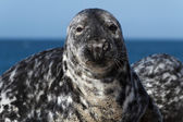 Seal on the dune of Helgoland looking at you — Stock Photo