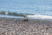Seal on the dune of Helgoland coming from the sea — Stock Photo