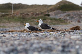 Seagulls on Helgoland with pebbles and dune — Stock Photo