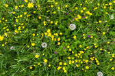 Yellow buttercup meadow top view with dandelion — Stock Photo