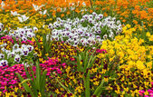 Flower bed with beautiful blossoms — Stockfoto