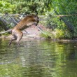 Jumping monkey directly above the water — Stock Photo