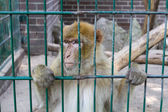 Sad looking monkey in his cage staring somewhere — Stock Photo
