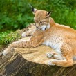 Stock Photo: Adult lynx resting on wooden stump